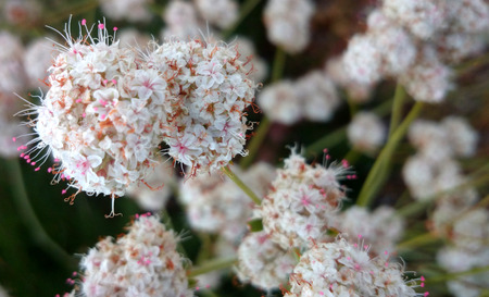 globose: Californian buckwheat, Eriogonum fasciculatum, perennial shrub with linear leaves in clusters and white to pink small flowers in dense almost globose clusters