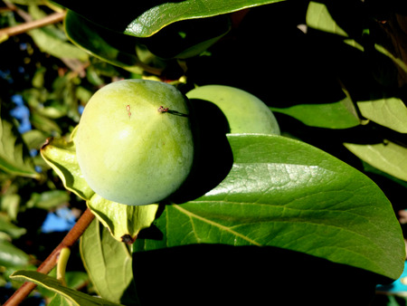 globose: Persimon Fuyu, Diospyros kaki, cultivar with depressed globose fruits, much less astringent when ripe, sweet and delicious when ripe Stock Photo