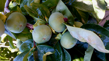 globose fruits: Persimon Fuyu, Diospyros kaki, cultivar with depressed globose fruits, much less astringent when ripe, sweet and delicious when ripe Stock Photo