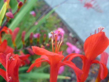 lanceolate: Crocosmia crocosmiiflora, pianta perenne con foglie lanceolate lineari e fiori rossi irregolari su steli ramificati