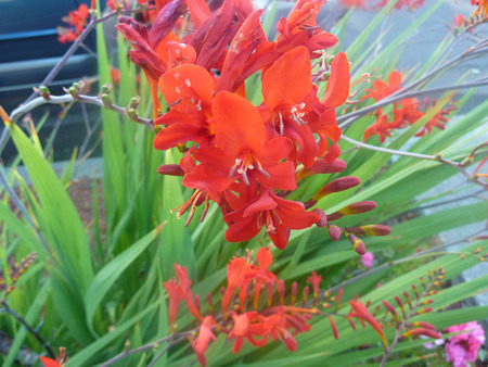 lanceolate: Crocosmia crocosmiiflora, perennial herb with linear lanceolate leaves and red irregular flowers on branched stalks Stock Photo