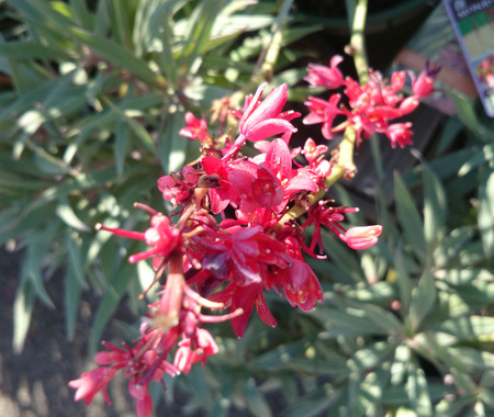 branched: False Red Yucca, Hesperaloe parviflora, perennial ornamental herb with linear leaves with thread like hairs along margin and tubular red flowers on branched stalk