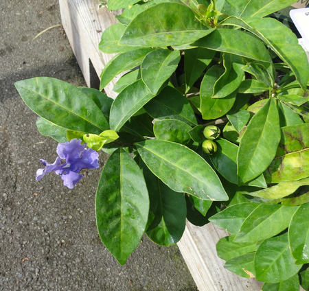 cm: Magnificent Brunfelsia, Brunfelsia magnifica, evergreen shrub with dark green leaves and large 7-10 cm across blue purple flowers                                                              Stock Photo