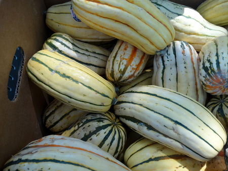 elongated: Delicata squash, Cucurbita pepo, elongated squash with creamy-yellow rind with dark green stripes more prominent towards upper  flower  end, with orange to yellow sweet flesh