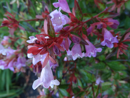 Engler Abelia, Abelia angeleriana, semi-evergreen shrub with arching branches, ovate bright green leaves and fragrant pale pink to purple flowers with yellow throat Stock Photo