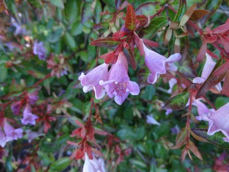 arching: Engler Abelia, Abelia angeleriana, arbusto semi-perenne con ramas arqueadas, ovadas hojas verde intenso y fragante rosa p�lido a flores de color p�rpura con la garganta amarilla
