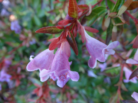 arching: Engler Abelia, Abelia angeleriana, semi-evergreen shrub with arching branches, ovate bright green leaves and fragrant pale pink to purple flowers with yellow throat Stock Photo