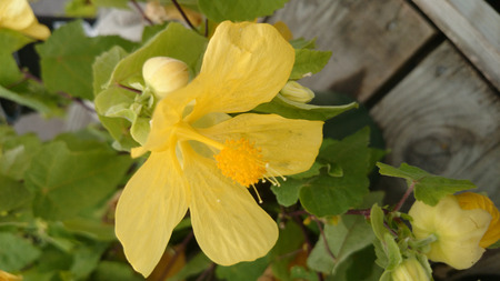 Abutilon hybridum Lucky Lantern Yellow, Lucky Lantern Yellow Flowering maple, a low growing compact shrub with ovate-cordate light green leaves and pale yellow fragrant flowers