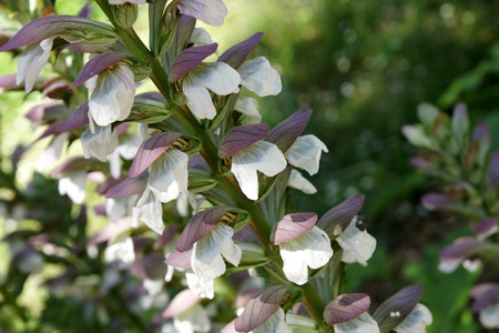 acanthus mollis: Acanthus mollis, bears breaches, perennial herb with shining green deeply cut leaves and white flowers in elongated spikes and subtended by purplish bracts, central bract spine tipped