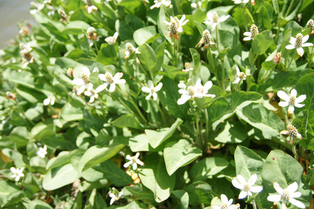 Yerba Mansa, Anemopsis californica, perennial herb of coastal areas in California with large green leaves and head like inflorescence surrounded by white bracts, on a long peduncle Stock Photo