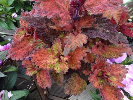 hybrida: Coleus Indian Summer, Solenostemon hybrida  Stock Photo
