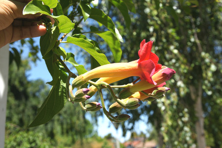 Mexican Blood Trumpet
