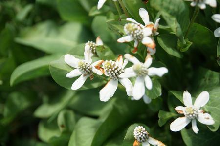 bracts large: Anemopsis californica