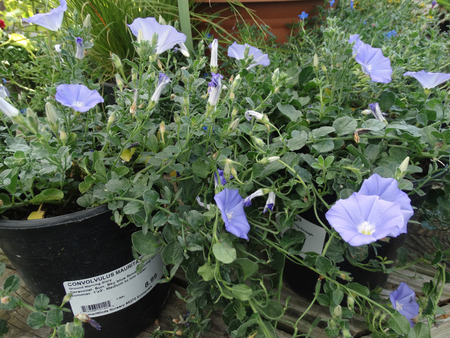 trailing: Convolvulus mauritanicus, Ground morning glory, Moroccan Glory Vine, dense trailing perennial herb with clusters of lilac blue flowers, suitable for ground cover. Stock Photo