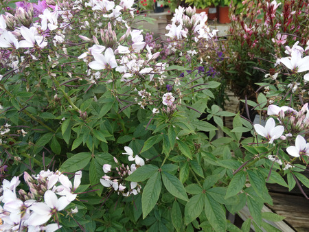 affect: Cleome Senorita Blanca PPAF, sterile hybrid ornamental with nonsticky palmate green leaves, lavender pink tinged spider like flowers, suitable for mass affect.