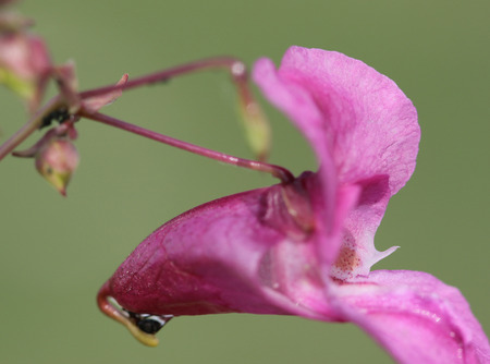 impatiens: Impatiens glandulifera, The Himalayan balsam