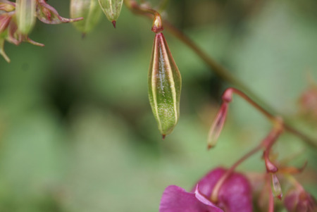 serrated: Impatiens glandulifera, The Himalayan balsam, tall herbaceous annual wild in Himalayas, often cultivated, with large oblong leaves with serrated leaves, pink to purple large flowers in raceme, flower resembling a helmet