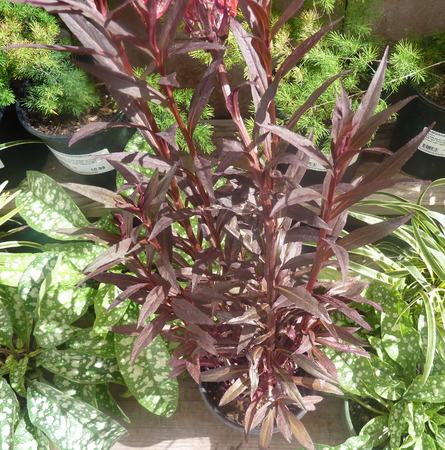 lanceolate: Lobelia cardinalis Queen Victoria, pianta perenne con foglie lanceolate lineari rosso e erigere spighe terminali di fiori rossi attraenti, adatte per bordure, vasche e vasi. Archivio Fotografico