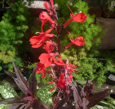 lobelia: Lobelia cardinalis Queen Victoria, perennial herb with red linear lanceolate leaves and erect terminal spikes of red attractive flowers, suitable for borders, tubs and pots.