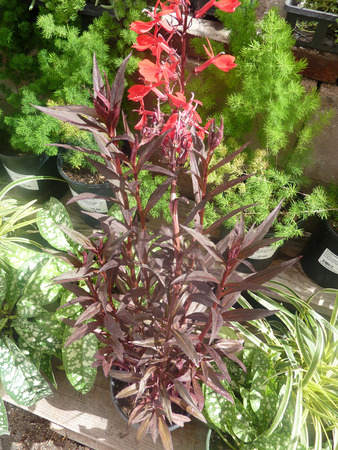 erect: Lobelia cardinalis Queen Victoria, perennial herb with red linear lanceolate leaves and erect terminal spikes of red attractive flowers, suitable for borders, tubs and pots.