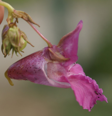 resembling: Impatiens glandulifera, The Himalayan balsam, tall herbaceous annual wild in Himalayas, often cultivated, with large oblong leaves with serrated leaves, pink to purple large flowers in raceme, flower resembling a helmet