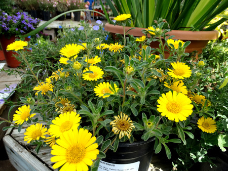 narrowly: Asteriscus maritimum, ornamental perennial herb from Mediterranean region with narrowly spatulate leaves and yellow flower heads with deep yellow center, suitable for rock gardens and pots. Stock Photo