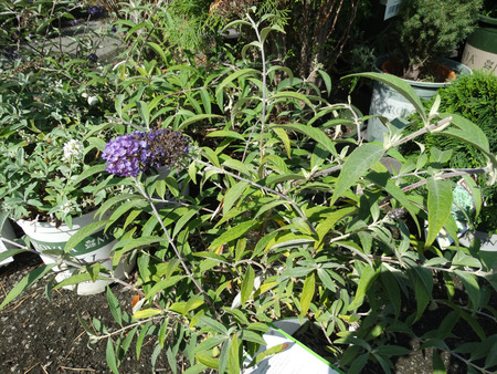behold: Buddleia Lo And Behold Purple Haze, dwarf cultivar with spreading branches and attractive spikes of purple flowers with orange throat.