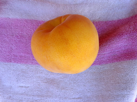 cling: Prunus persica Yellow Cling Peach, cultivar with orange yellow large fruits and similar coloured flesh juicy and sweet to taste, looking similar to apricot except shape and size, clingstone type