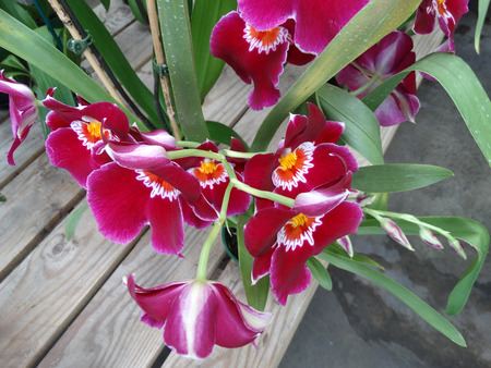 velvety: Miltoniopsis Bert Field Eileen, Perennial ornamental hybrid herb with linear leaves and large red velvety fragrant flowers with white finger-like patterns and yellow center Stock Photo