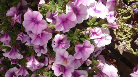 herbaceous: Calibrachoa Superbells Tickled Pink, herbaceous bedding annual with light pink flowers with darker rose-pink throat and veins and yellow lower throat Stock Photo