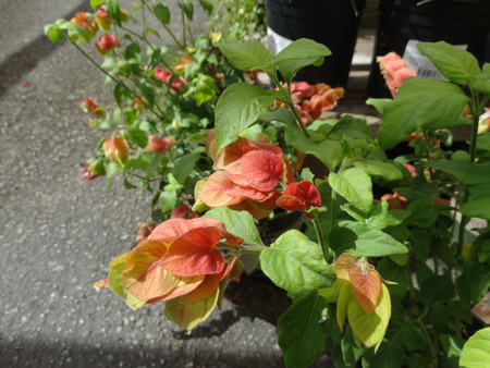 Justicia brandegeana, Mexican shrimp plant, ornamental with green oval leaves and white flowers in spikes subtended by large red to orange bracts