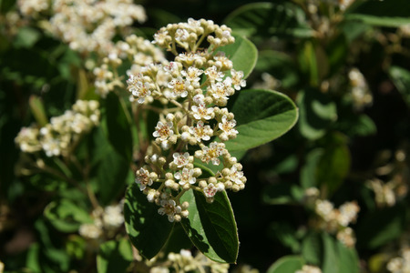 sized: Parneys Cotoneaster, Cotoneaster lacteus, Medium sized shrub with leaves dark green above, white beneath, white flowers in broad clusters and red fruits.