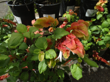 bracts large: Justicia brandegeana, Mexican shrimp plant, ornamental with green oval leaves and white flowers in spikes subtended by large red to orange bracts