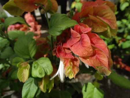 bracts: Justicia brandegeana, Mexican shrimp plant, ornamental with green oval leaves and white flowers in spikes subtended by large red to orange bracts