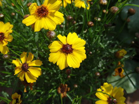 herbaceous: Highland Gold Tickseed, Coreopsis Highland Gold, low growing herbaceous perennial with yellow heads with dark centre