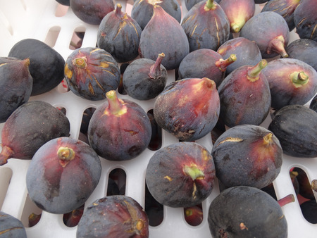 purple fig: Black Mission Fig, Ficus carica Mission, popular cultivar also known as Franciscana with medium sized fruits with purple black skin and strawberry colored flesh, sweet and juicy, skin cracking when ripe.