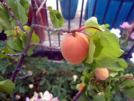 soft center: Apricot, Prunus armeniaca, temperate fruit with 3-5 cm long fruits with soft golden yellow skin and similar sweet juicy flavory flesh, and smooth stone in center. Stock Photo