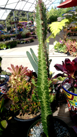 patter: African milk tree, Euphorbia trigona, branched erect plant with usually 3-sided stems, with light colored central patter and Stock Photo