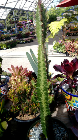 branched: African milk tree, Euphorbia trigona, branched erect plant with usually 3-sided stems, with light colored central patter and Stock Photo