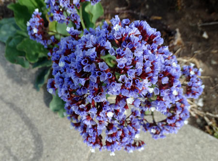 Perezs sea lavender, Limonium perezii, ornamental perennial herb with thick oval to rounded large leaves and lavender flowers with white center in broad panicles. photo