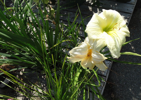 nearly:  Hemerocallis Joan Senior daylily, cultivar with nearly white up to 15 cm in diam, on top of a long scape and basal rosette of linear leaves