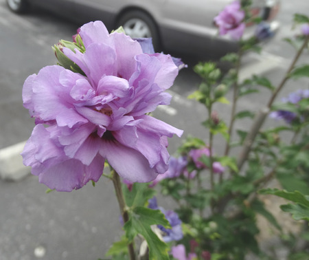 lobed: Hibiscus syriacus Double purple, Double purple Roase of Sharon, deciduous shrub to small tree with lobed leaves and large double purple flowers