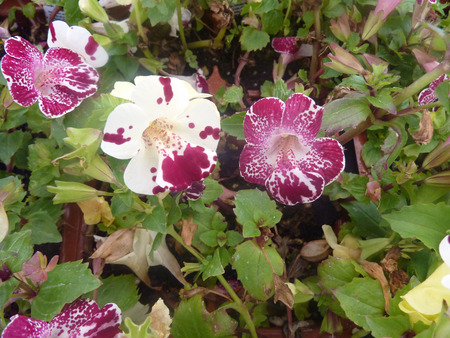 blotches: Mimulus Magic White Flame, cultivar with purple white spotted upper lobes and purple scattered blotches on lower lobe. Stock Photo