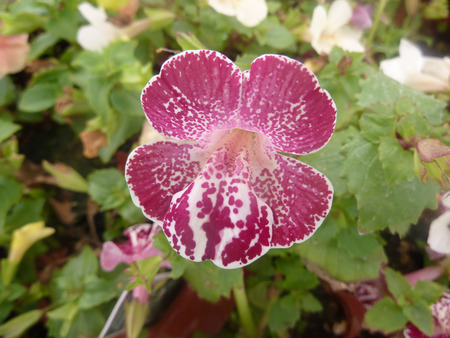 lobe: Mimulus Magic White Flame, cultivar with purple white spotted upper lobes and purple scattered blotches on lower lobe. Stock Photo