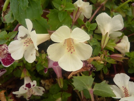 blotches: Mimulus Magic White with blotch, cultivar with pure white flowers with red to purple spots in throat and occasional blotches on lobes. Stock Photo