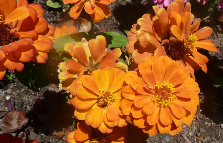 Zinnia hybrida orange, ornamental herb with opposite leaves and 5-8 cm across heads on long peduncle, bearing orange ray florets and dark disc.