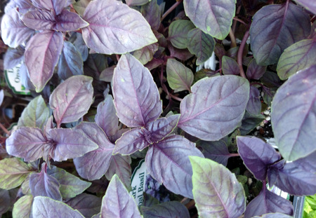 Dark Opal Basil, Ocimum basilicum Dark Opal, cultivar with deep purple leaves, noted for high anthocyanin content