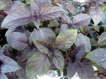 noted: Dark Opal Basil, Ocimum basilicum Dark Opal, cultivar with deep purple leaves, noted for high anthocyanin content