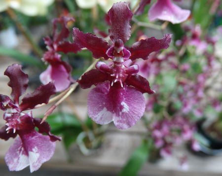 shorter: Oncidium Sharry Baby Red Fantasy, cultivar also known as chocolate orchid having strong chocolate scent, shorter plant with numerous red flowers with pale pink lower lip.