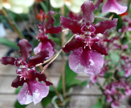 numerous: Oncidium Sharry Baby Red Fantasy, cultivar also known as chocolate orchid having strong chocolate scent, shorter plant with numerous red flowers with pale pink lower lip.